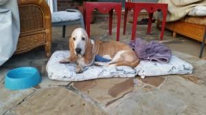 basset hound found